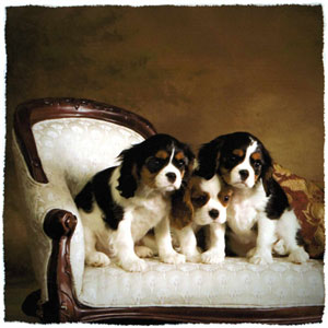 Cavalier King Charles Spaniel Puppies For Sale Dallas Fort