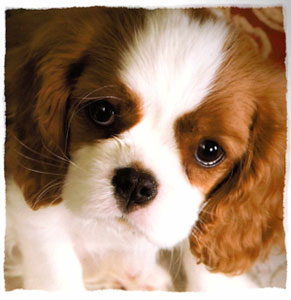 Cavalier King Charles Spaniel Puppies For Sale Dallas Fort Worth Texas